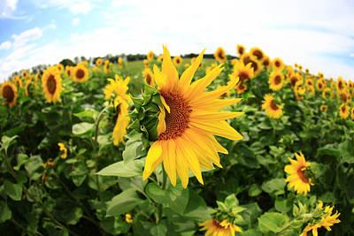 Sunflower Poster by Falko Follert