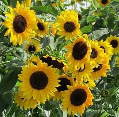 Sunflower Field Poster by France Laliberte