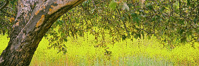 Sycamore Tree In Mustard Field Poster