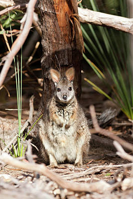 Tammar Wallaby (macropus Eugenii Poster by Martin Zwick