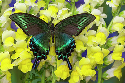 The Common Peacock Swallowtail Poster by Darrell Gulin