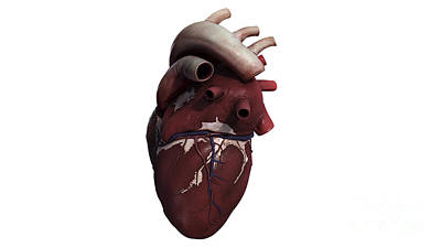 Three Dimensional View Of Human Heart Poster by Stocktrek Images