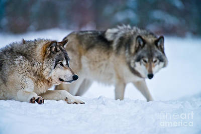 Timber Wolf Picture Poster
