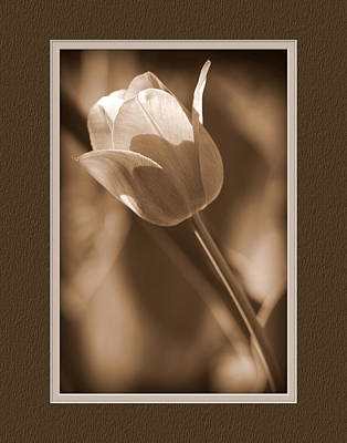Tulip Closeup Poster by Charles Feagans