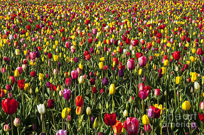 Tulip Field Poster by Mandy Judson