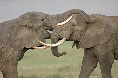 Two African Elephants Fighting Poster