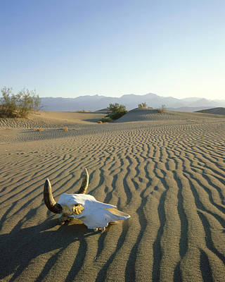 Usa, California, Death Valley, Cow Poster by Tips Images