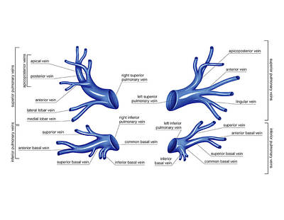 Venous System Of The Thorax Poster
