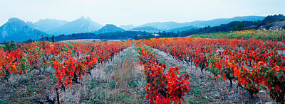 Vineyards In The Late Afternoon Autumn Poster