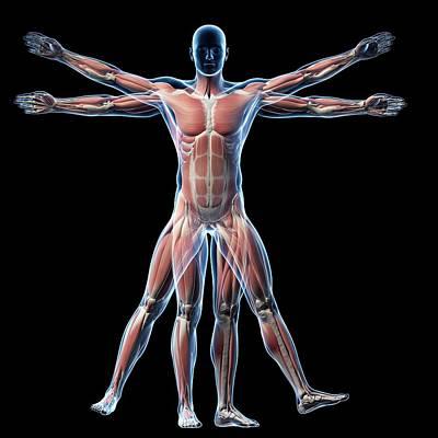 Vitruvian Man Muscles Poster