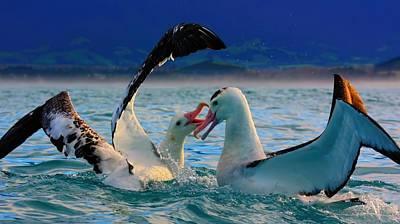 Wandering Albatross Poster by Amanda Stadther