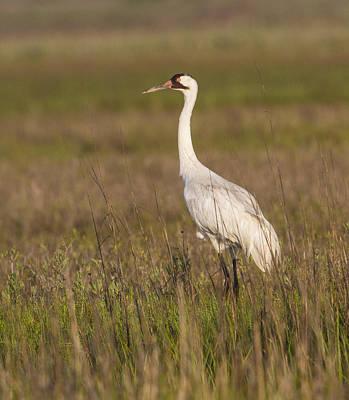 Whooping Crane Poster by Doug Lloyd