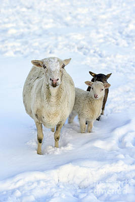 Winter Lambs And Ewe Poster