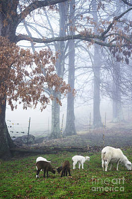 Winter Lambs Foggy Day Poster by Thomas R Fletcher