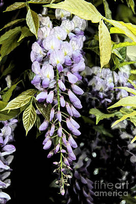 Wisteria  Poster by Christiane Schulze Art And Photography