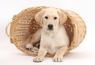 Yellow Labrador Retriever Puppy Poster by Mark Taylor
