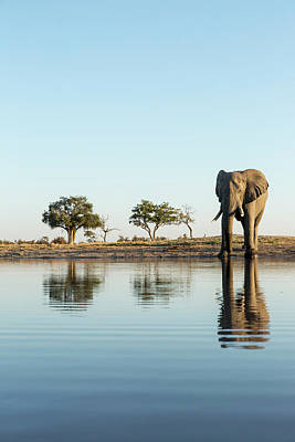 Africa, Botswana, Chobe National Park Poster by Paul Souders