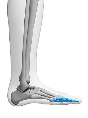 Human Foot Bones Poster