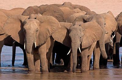 African Elephants Loxodonta Africana Poster