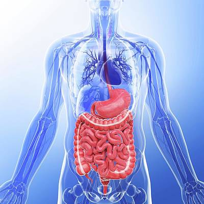 Human Internal Organs Poster