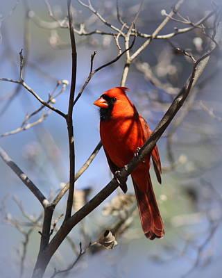 3477-006- Northern Cardinal Poster