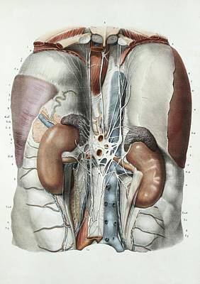 Abdominal Anatomy Poster by Science Photo Library