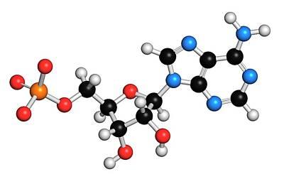 Adenosine Monophosphate Molecule Poster by Molekuul