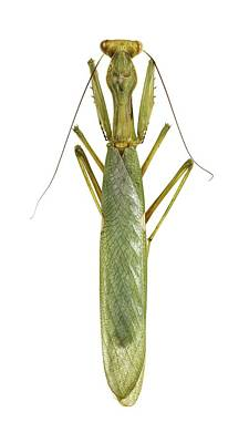 African Mantis Poster by Science Photo Library