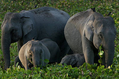 An Indian Elephant Family In Kaziranga Poster