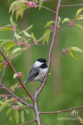 Black-capped Chickadee Poecile Poster by Linda Freshwaters Arndt
