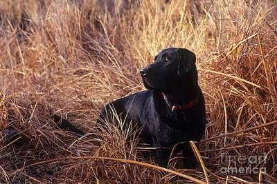 Black Labrador Retriever Poster by William H. Mullins