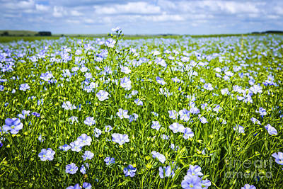 Blooming Flax Field Poster