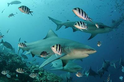 Bull Shark (carcharhinus Leucas Poster