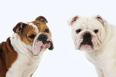 Bulldog Anglais Poster by Gerard Lacz