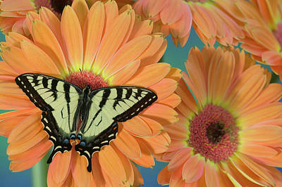 Canadian Tiger Swallowtail Butterfly Poster