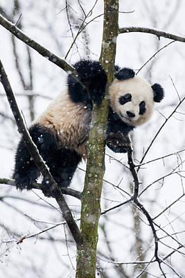 China, Chengdu Panda Base Poster