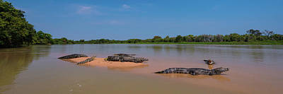 Close-up Of Yacare Caimans Caiman Poster by Panoramic Images