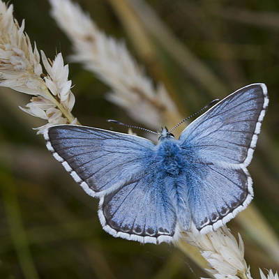 Common Blue Butterfly Poster by Shirley Mitchell