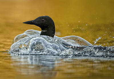 Common Loon Poster by Loon  Images