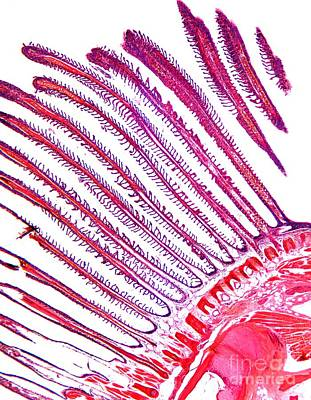 Dogfish Gill, Light Micrograph Poster by Dr. Keith Wheeler