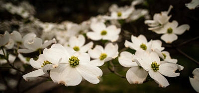 Poster featuring the photograph Dogwoods by Wayne Meyer
