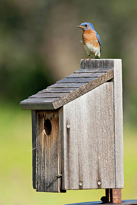 Eastern Bluebird (sialia Sialis Poster by Larry Ditto