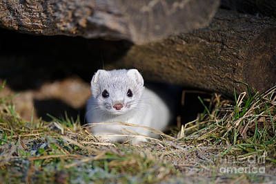 Ermine In Log Pile Poster