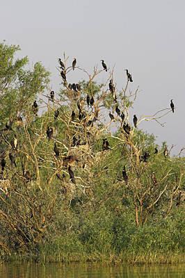 Eurasian Cormorant (phalacrocorax Carbo Poster