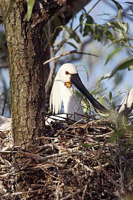 Eurasian Spoonbill Or Common Spoonbill Poster
