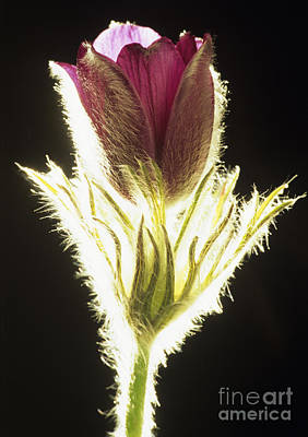 European Pasque Flower Poster
