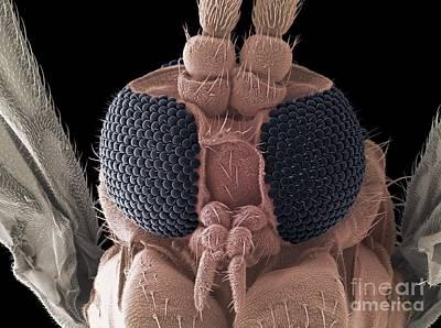 Fungus Gnat Head, Sem Poster