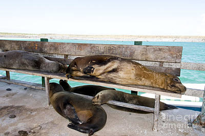 Galapagos Sea Lions Poster by William H. Mullins