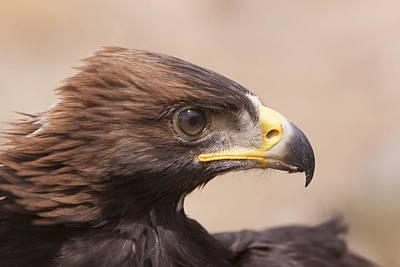 Glaring Eagle Poster