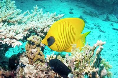 Golden Butterflyfish On A Reef Poster by Georgette Douwma